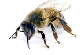 Handling Bees in the Phoenix Valley HOA